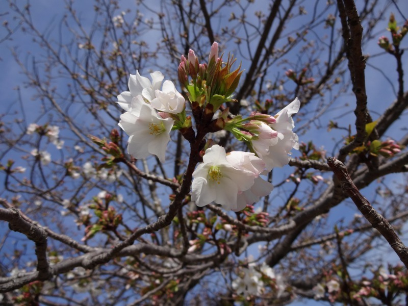 富浜緑地・中川口緑地 お花見シーズン_d0338682_15534189.jpg