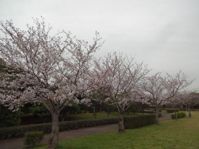 富浜緑地・中川口緑地 お花見シーズン_d0338682_16040740.jpg