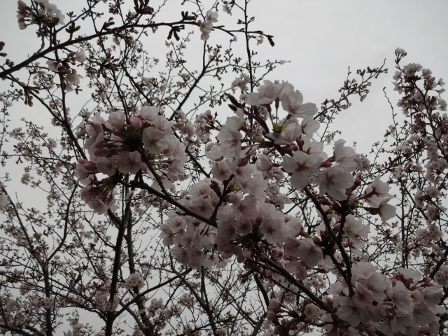 富浜緑地・中川口緑地 お花見シーズン_d0338682_16041564.jpg