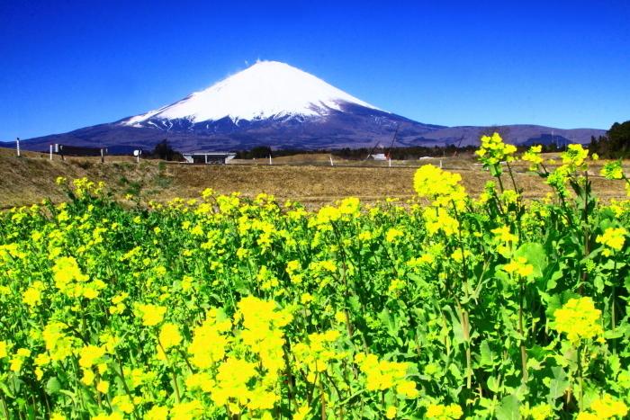 令和2年3月の富士 (24) 御殿場の菜の花と富士_e0344396_17341888.jpg