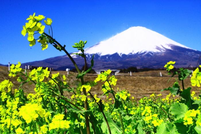 令和2年3月の富士 (24) 御殿場の菜の花と富士_e0344396_17342678.jpg