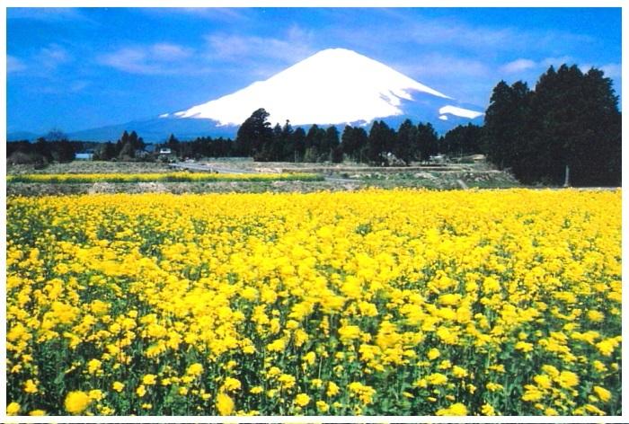 令和2年3月の富士 (24) 御殿場の菜の花と富士_e0344396_17363195.jpg