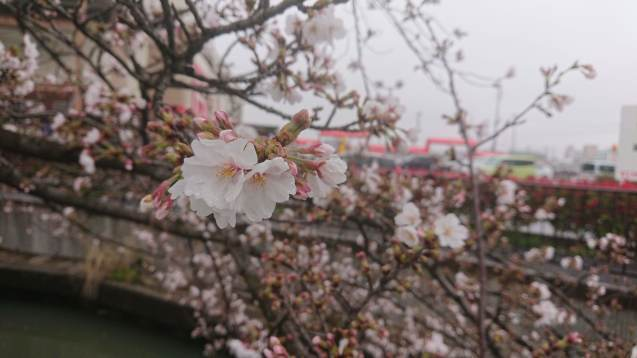 ひとりで花見_a0113003_16161601.jpg
