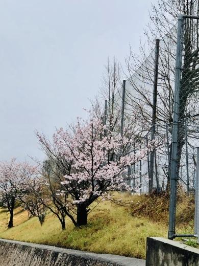 卒業して初めて見た母校の桜。_a0213806_20151329.jpeg
