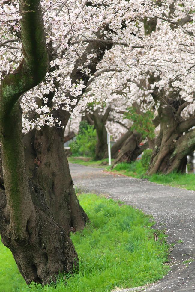 飛鳥川のいつもの桜並木_b0408917_03221437.jpg