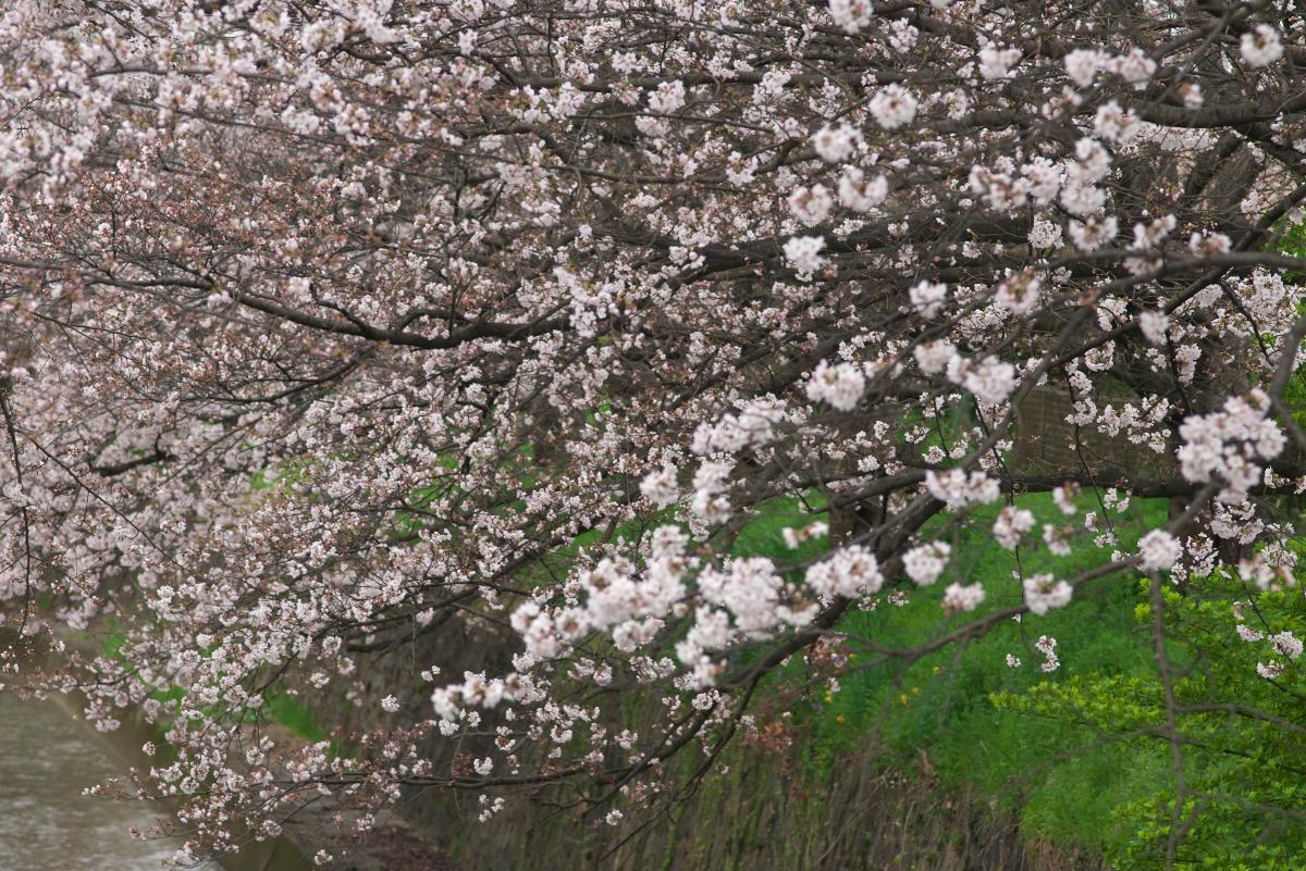 飛鳥川のいつもの桜並木_b0408917_03223077.jpg