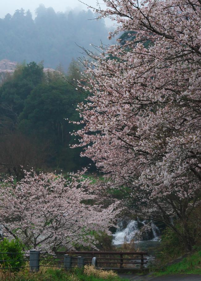 桜 開花状況!_b0408917_06385158.jpg