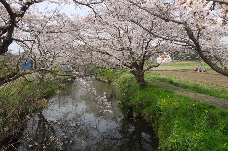 今井の桜2020_f0126932_20503695.jpg
