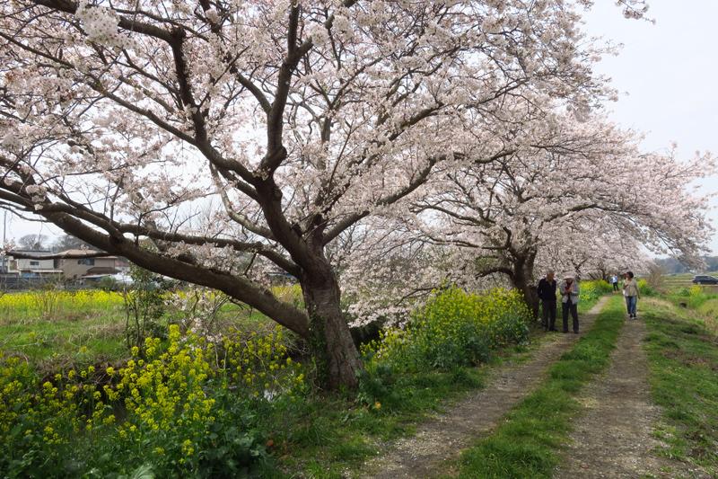 今井の桜2020_f0126932_20505388.jpg