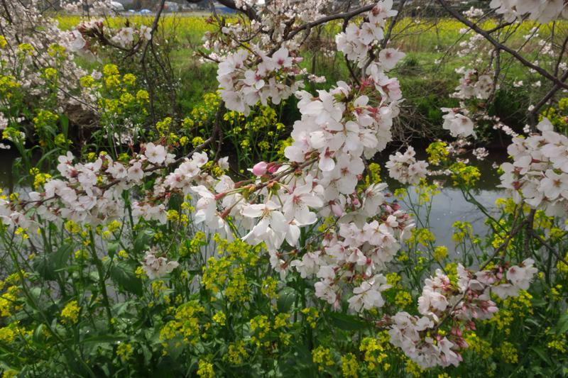 今井の桜2020_f0126932_20510380.jpg