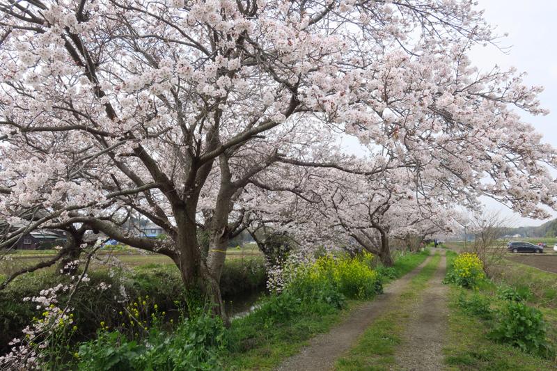 今井の桜2020_f0126932_20511283.jpg