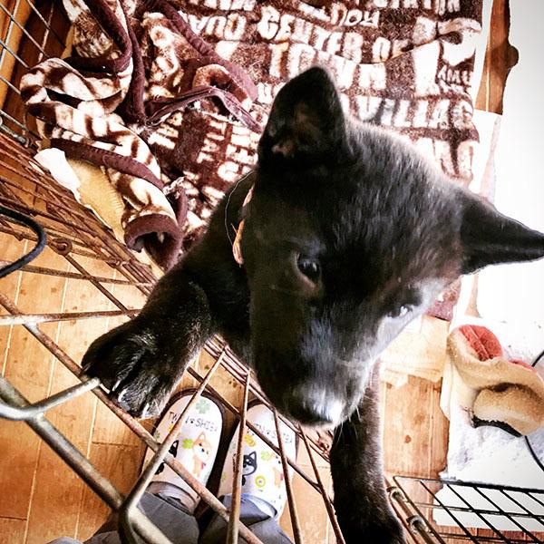 甲斐犬の仔犬(生後2ヶ月半) / iPhone 8_c0334533_23271445.jpg