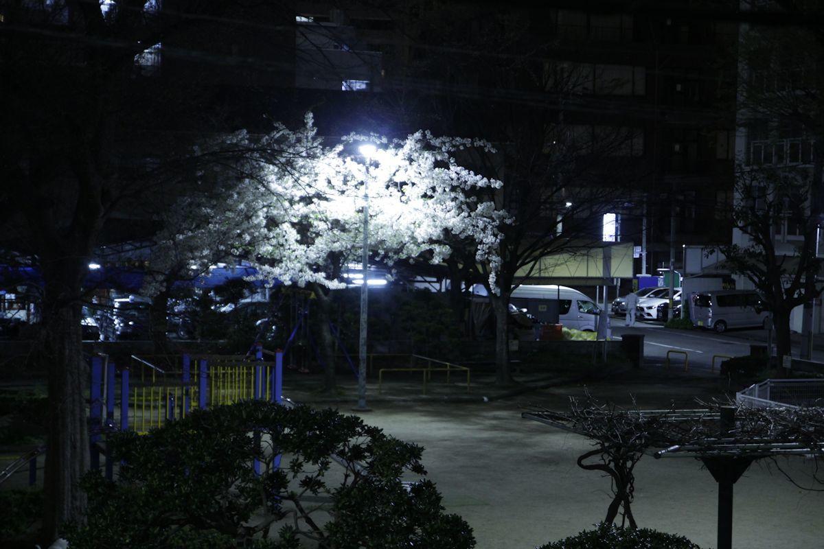 夜桜_d0086634_15552946.jpg
