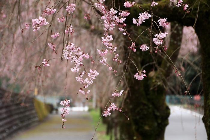 徳山の枝垂れ桜_f0327034_15483506.jpg