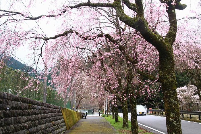 徳山の枝垂れ桜_f0327034_15503067.jpg