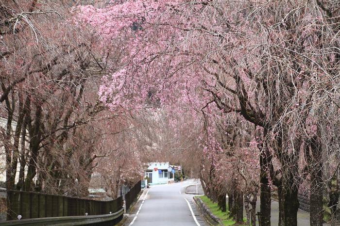 徳山の枝垂れ桜_f0327034_15503305.jpg