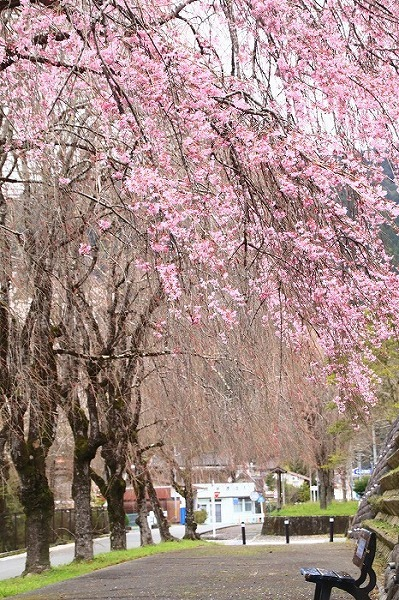 徳山の枝垂れ桜_f0327034_15503712.jpg