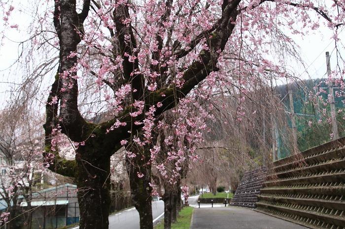 徳山の枝垂れ桜_f0327034_15504047.jpg