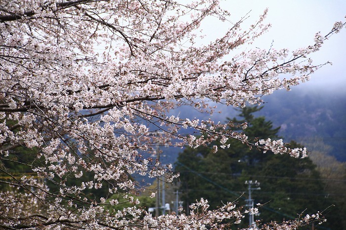 徳山の枝垂れ桜_f0327034_15504340.jpg