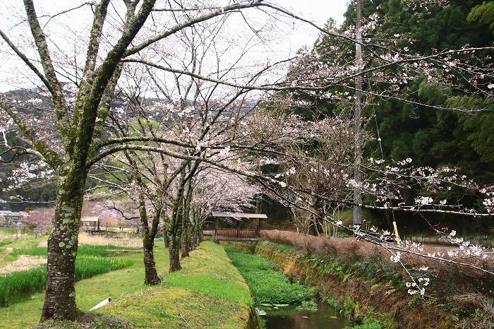 徳山の枝垂れ桜_f0327034_15505378.jpg