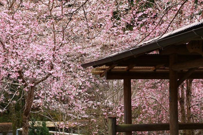 徳山の枝垂れ桜_f0327034_15505587.jpg