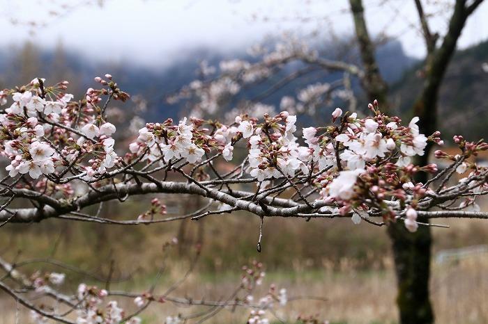 徳山の枝垂れ桜_f0327034_15505838.jpg