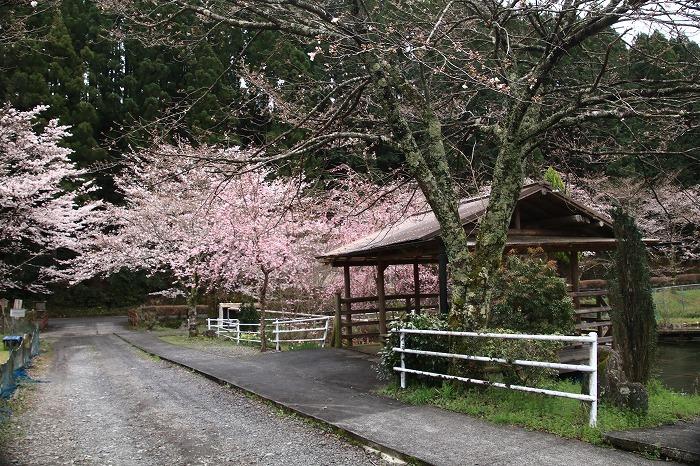 徳山の枝垂れ桜_f0327034_15510118.jpg