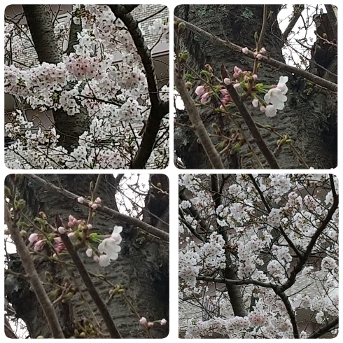桜_a0106637_10252976.jpg