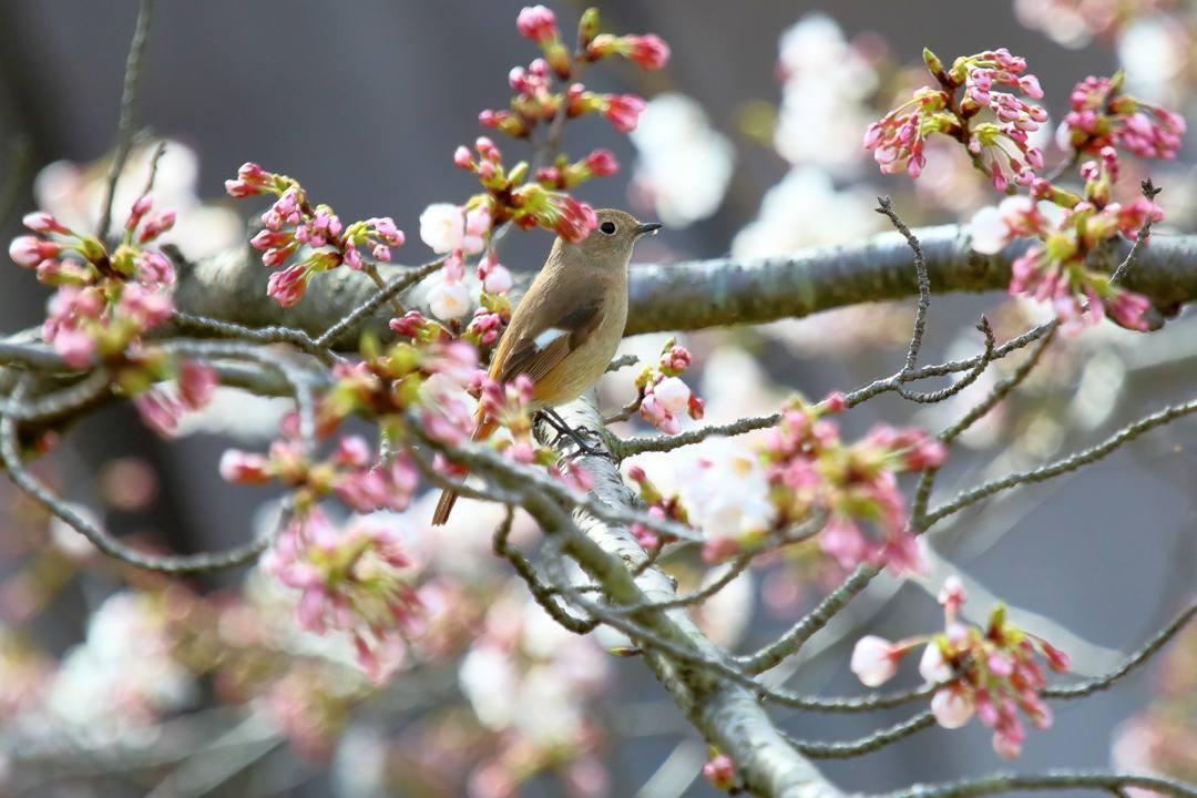 桜 2020_e0403850_19145948.jpg