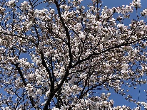 昨日の桜_c0327752_17195920.jpg