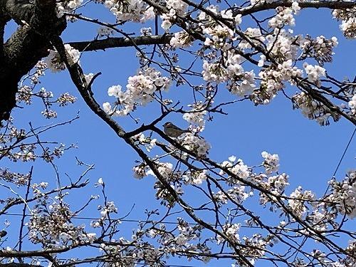 昨日の桜_c0327752_17225754.jpg