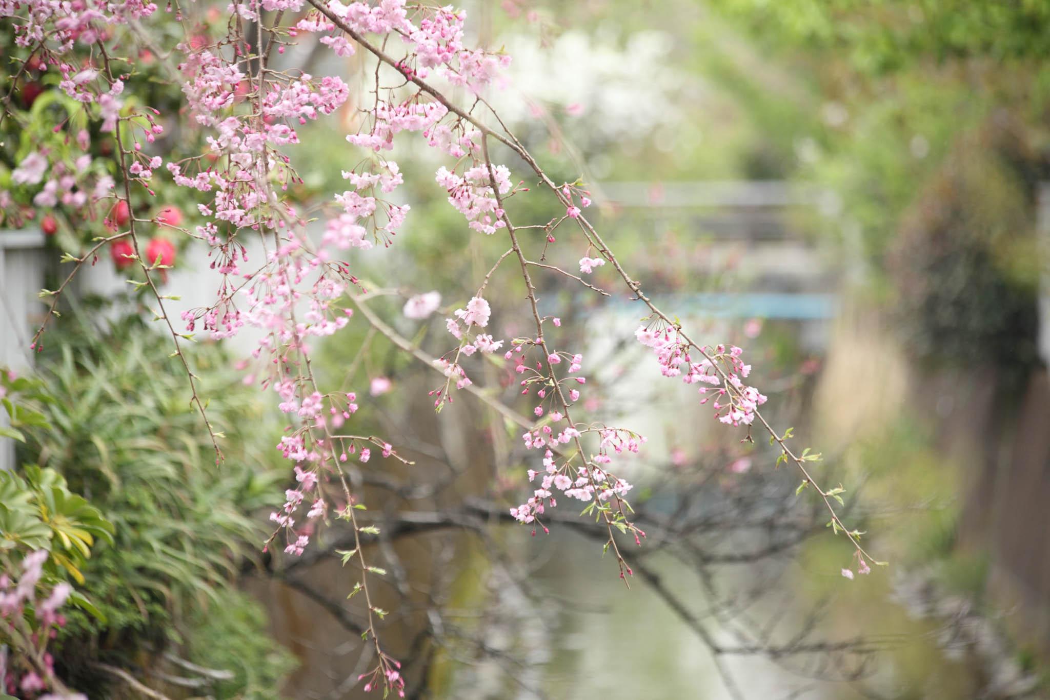 二ヶ領用水の枝垂桜_c0299360_0151280.jpg