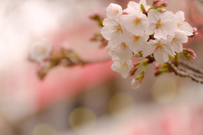 駅前桜始まりました_a0383466_22102077.jpg