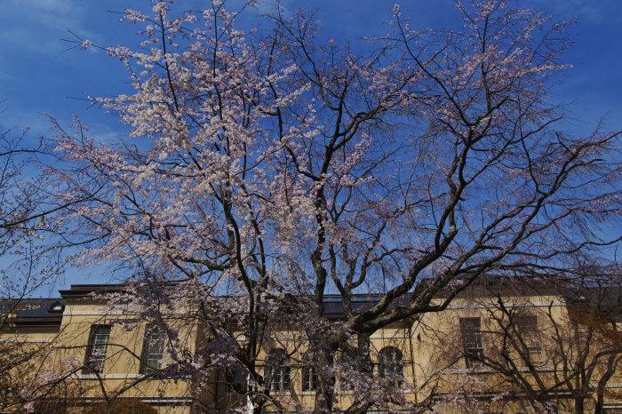 桜 2020_f0021869_00233198.jpg