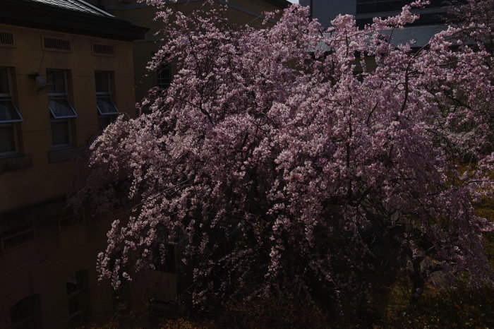 桜 2020_f0021869_00273745.jpg