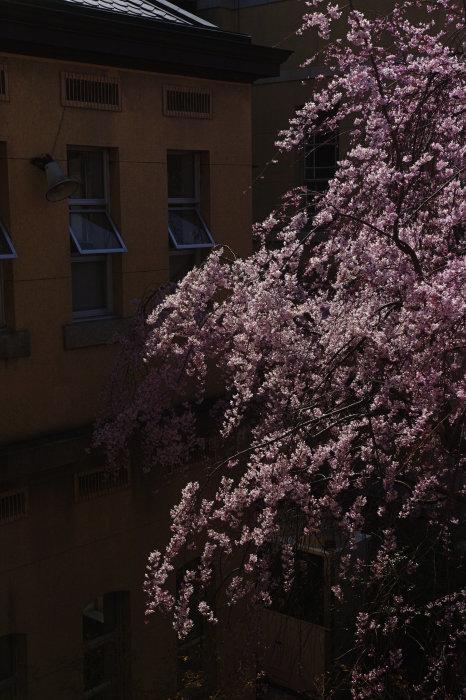 桜 2020_f0021869_00273784.jpg