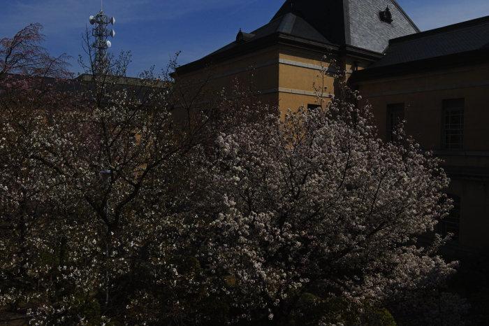 桜 2020_f0021869_00334849.jpg
