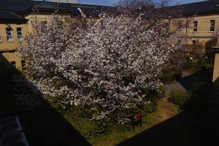 桜 2020_f0021869_00334973.jpg