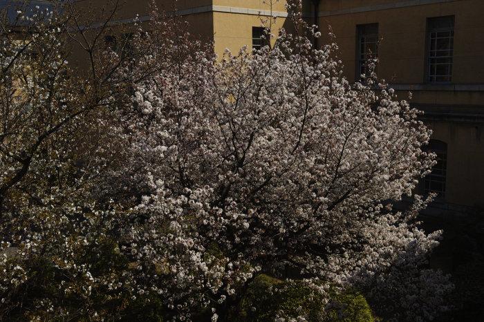 桜 2020_f0021869_00335039.jpg