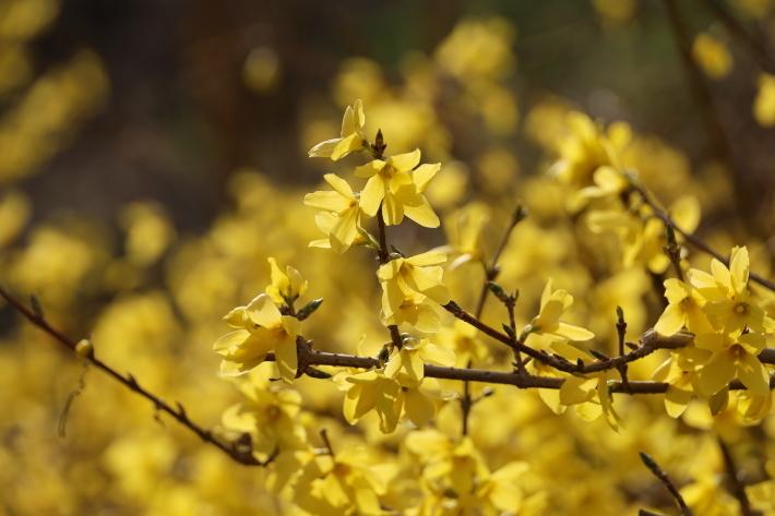 春の花(6) 黄色い花 (2020/3/27撮影)_b0369971_10235528.jpg