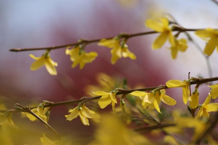 春の花(6) 黄色い花 (2020/3/27撮影)_b0369971_10240692.jpg