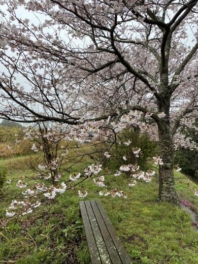 裏山の桜だより③ 2020 & 臨時休業のお知らせ_c0334574_19035511.jpeg