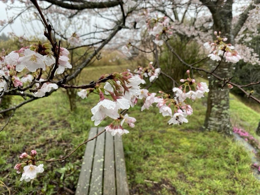 裏山の桜だより③ 2020 & 臨時休業のお知らせ_c0334574_19035937.jpeg