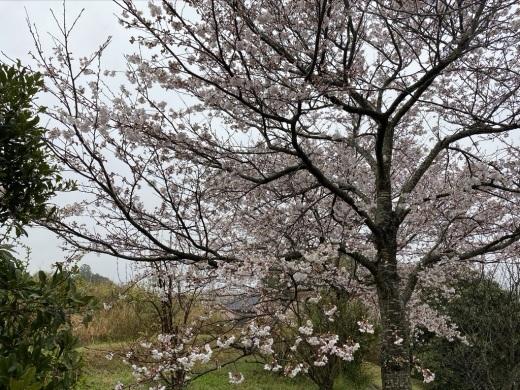 裏山の桜だより③ 2020 & 臨時休業のお知らせ_c0334574_19040374.jpeg