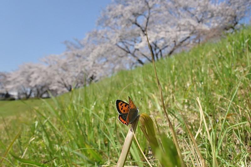 小畔川便り(ツマキチョウ初見:2020/3/22.26)_f0031682_07185560.jpg