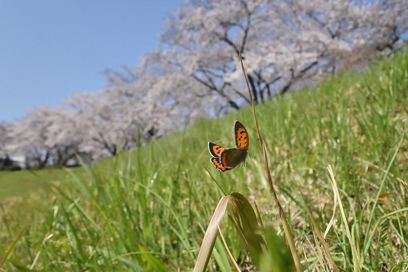 小畔川便り(ツマキチョウ初見:2020/3/22.26)_f0031682_07185566.jpg