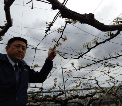 積雪により久喜市の梨に大きな被害 適切な対応を R2年4月1日_d0084783_10010728.jpg