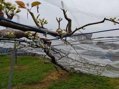 積雪により久喜市の梨に大きな被害 適切な対応を R2年4月1日_d0084783_10011968.jpg