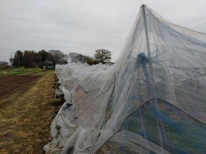 積雪により久喜市の梨に大きな被害 適切な対応を R2年4月1日_d0084783_10013946.jpg