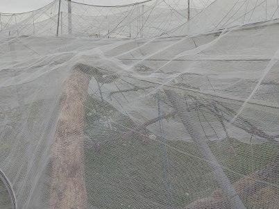 積雪により久喜市の梨に大きな被害 適切な対応を R2年4月1日_d0084783_10015617.jpg